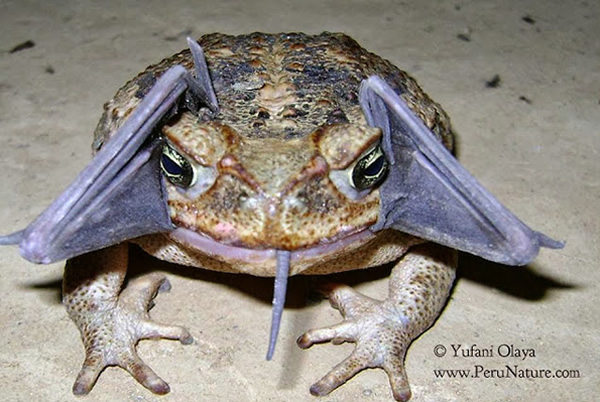 Cane-toad-eating-bat